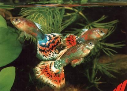 Описание: b Аквариумные рыбки барбусы - самые неприхотливые рыбки; Аквариумные.